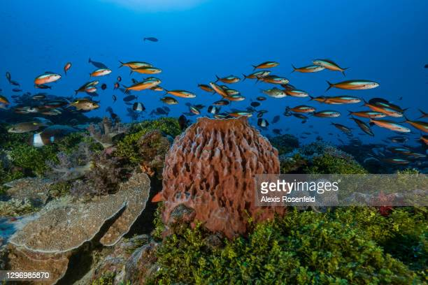 School of dark-banded fusiliers swims over a giant barrel sponge in the lagoon of Mayotte on November 29 Comoros archipelago, Indian Ocean. Park...