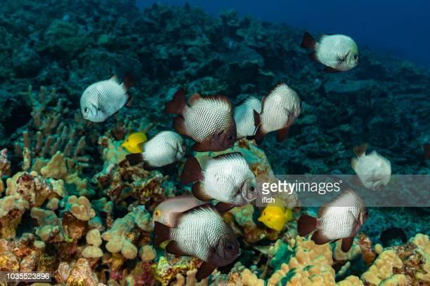 school of endemic damselfish, hawaiian damsel dascyllus albisella, big island, hawaii - damselfish stock photos and pictures