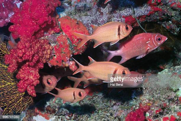 school of epaulette soldierfish and tailspot squirrelfish - squirrel fish 個照片及圖片檔