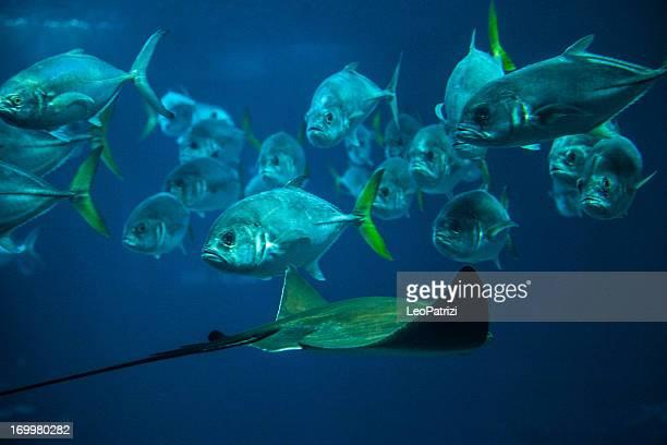 School of Fish ana Manta in aquarium