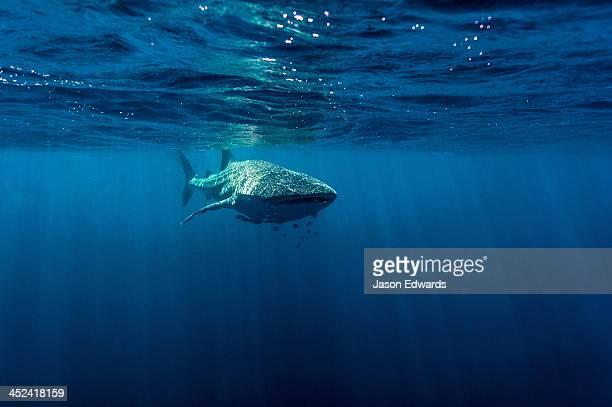 A school of fish follow a Whale Shark filter feeding near the surface.