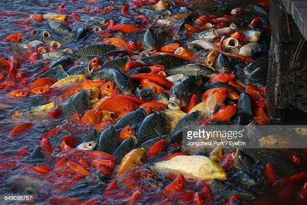 School Of Fish In Pond