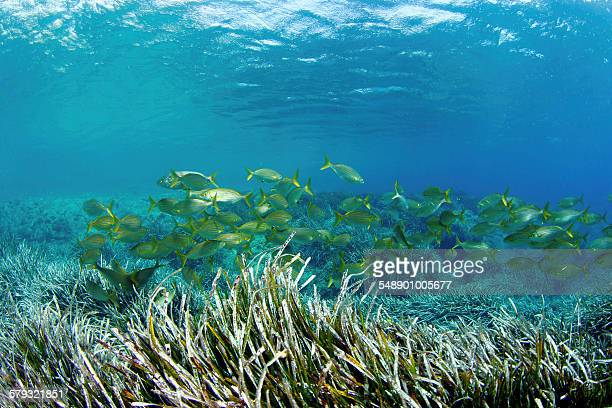 School of fish in the seagrass