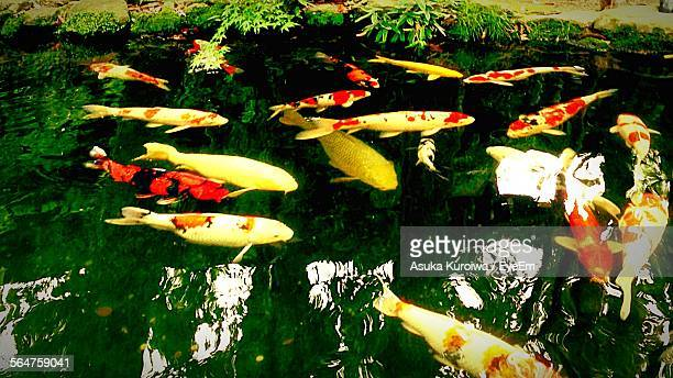 school of fish in water - asuka stock pictures, royalty-free photos & images