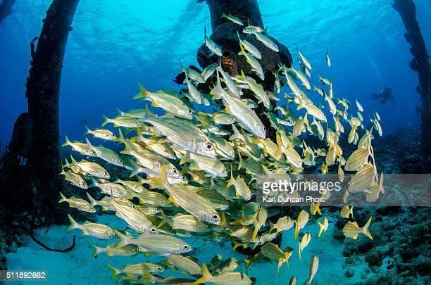 school of fish - カリブ海オランダ領 ストックフォトと画像