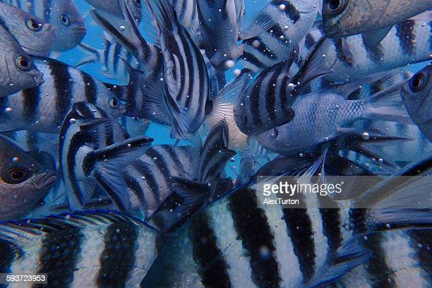 school of fish - damselfish stock photos and pictures