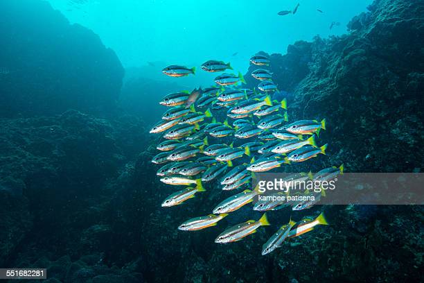 School of fish, Similan Islands, Thailand