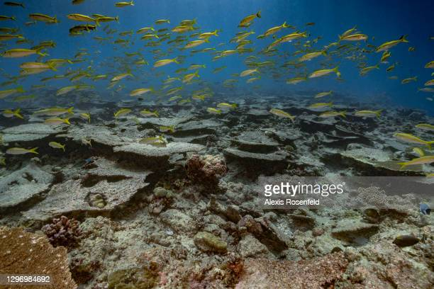School of fish swimming a coral reef with a large numbers of dead corals on April 14 Maldives, Indian Ocean. Higher than average sea surface water...