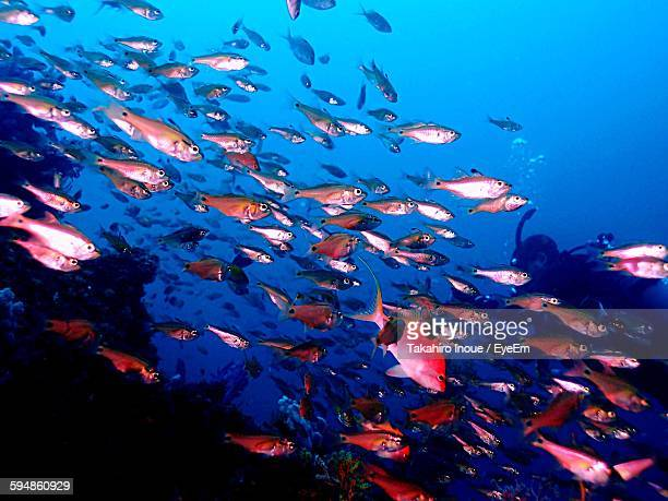school of fish swimming undersea - inoue stock photos and pictures