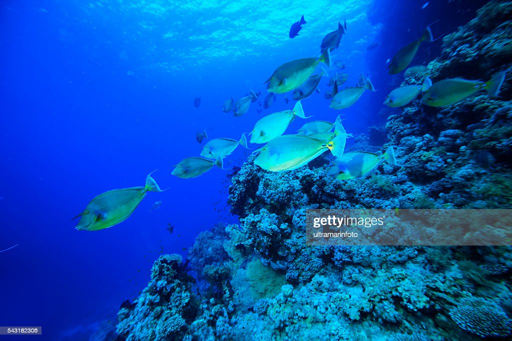 School of fish - Unicornfish : Stock Photo