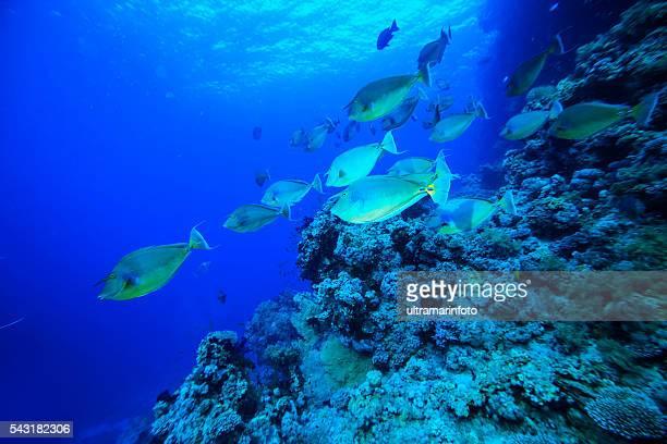 School of fish - Unicornfish