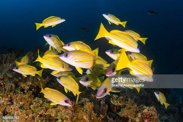 A school of Five-lined snapper in a coral reefs