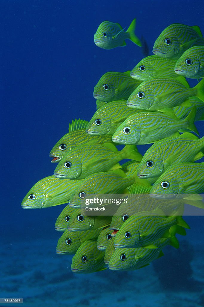 School of french bluestriped and margate grunts : Stockfoto