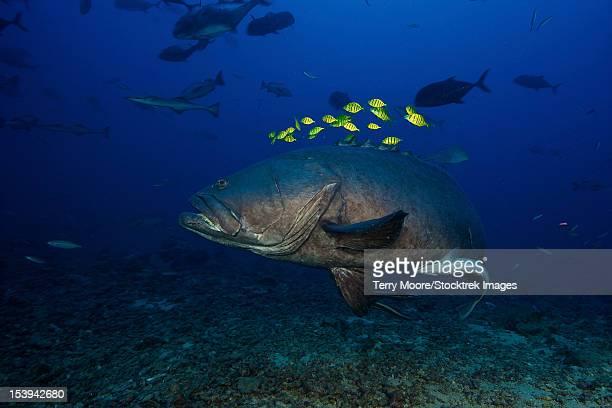 a school of golden trevally follow a giant grouper for protection during a shark feed. - fondo marino fotografías e imágenes de stock