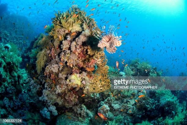 school of goldfish surrounding coral with a sea lion - aquatic mammal stock pictures, royalty-free photos & images