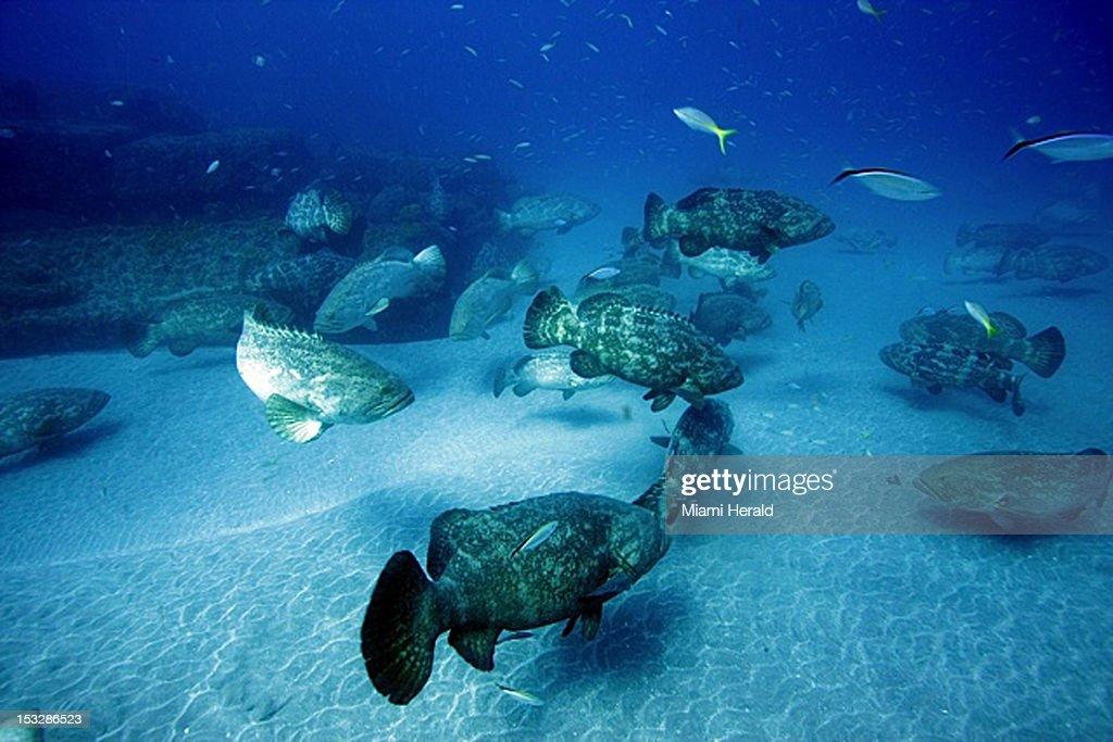 Grouper : News Photo
