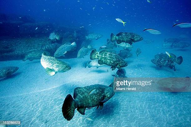 A school of Goliath grouper hovers near the sea bottom at one of the sunken wrecks off Jupiter Florida during their spawning season