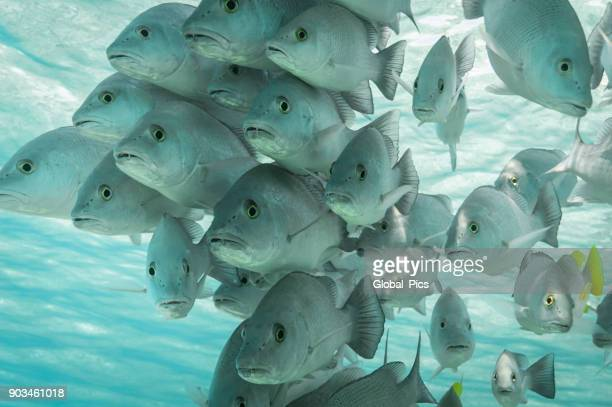 school of grunt fish - school of fish stock photos and pictures