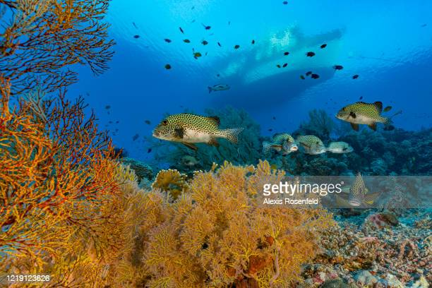 School of harlequin sweetlips swim over the reef in the clear waters of Tubbahata on April 25, 2018 off Palawan, Philippines, Sulu Sea. Listed as a...