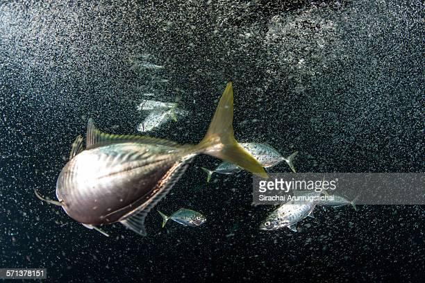 A school of Indian Mackerel feeds on plankton