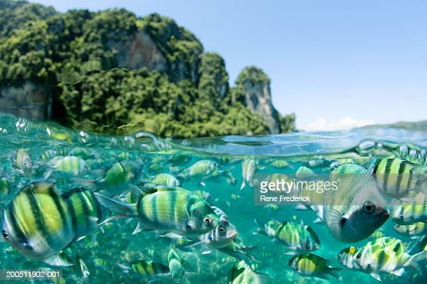 school of indo-pacific sargeants (abudefduf vaigiensis), surface view - phi phi islands stock-fotos und bilder