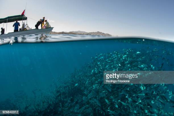 School of jack fish swimming near boat on water surface, Cabo San Lucas, Baja California Sur, Mexico, North America