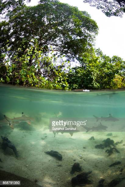 School of juvenile blacktip reef sharks in a shallow pool inside a mangrove forest