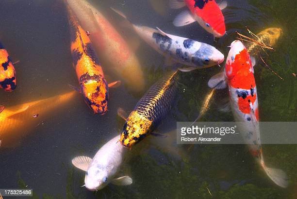 A school of koi in a pond at the Japanese Gardens in San Francisco's Golden Gate Park