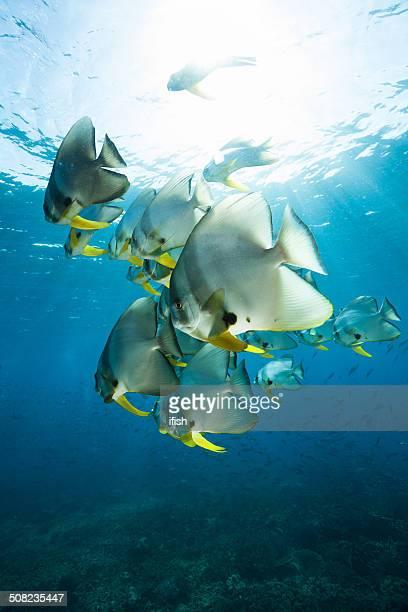 学校ツバメ Batfishes の光、インドネシア、Raja Ampat