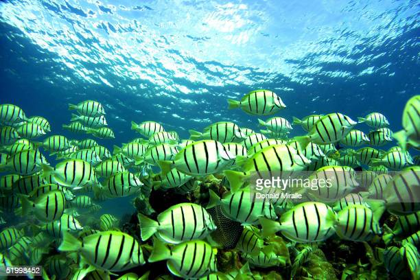 A school of manini fish pass over a coral reef as a snorkeler swims over at Hanauma Bay on January 15 2005 in Honolulu Hawaii Many coral reefs are...