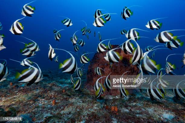 School of pennant coralfish in the waters of Mayotte Marine Natural Park on December 05, Mozambique Channel, Comoros archipelago, Indian Ocean....