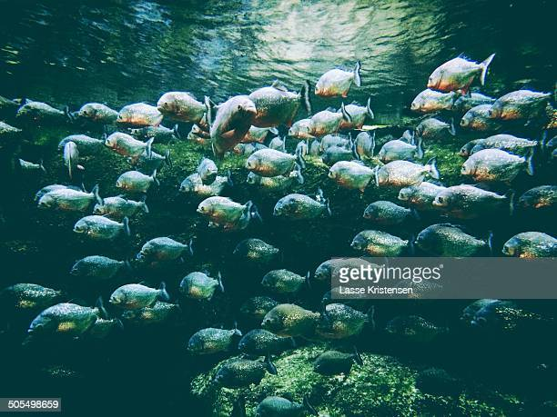 School of piranhas
