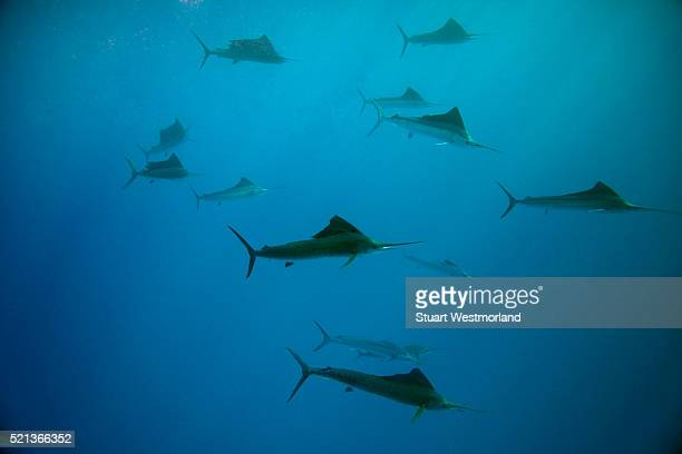 School of sailfish