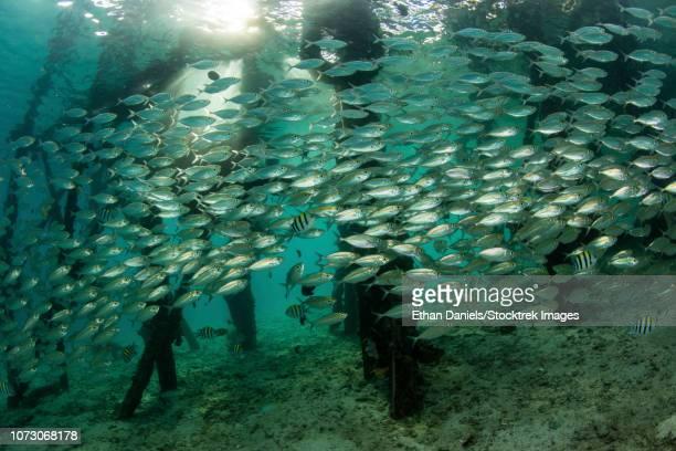 a school of scad (selar leptolepis) swims beneath a pier in raja ampat, indonesia. - fransenteppichhai stock-fotos und bilder