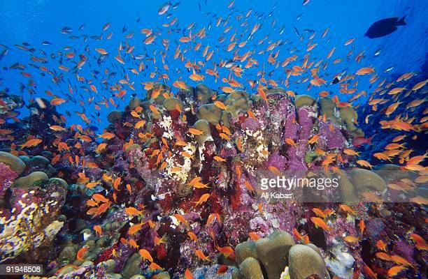 School of Scalefin anthias, Anthias squamipinnis, at Daedalus Reef (Abu el-Kizan), Red Sea, Egypt