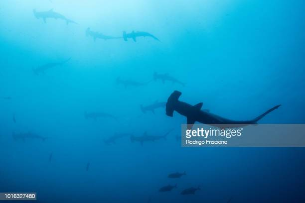 School of scalloped hammerheads, Puntarenas, Costa Rica
