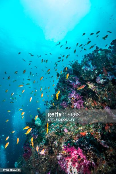 a school of sea goldie swimming around the rock covered with colorful soft coral. - reef stock pictures, royalty-free photos & images