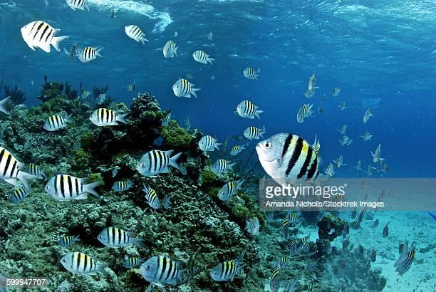 school of sergeant major fish, nassau, the bahamas. - damselfish stock photos and pictures