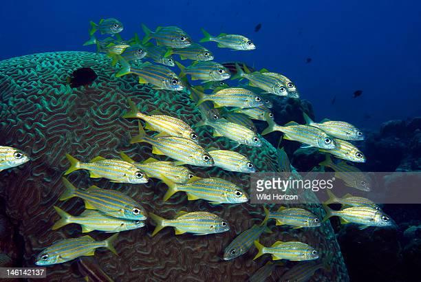 School of smallmouth grunts over a giant brain coral head Haemulon chrysargyreum PortoMari Curacao Netherlands Antilles