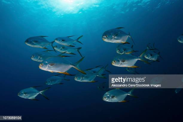 school of snubnose pompano, maldives. - hawkfish stock pictures, royalty-free photos & images