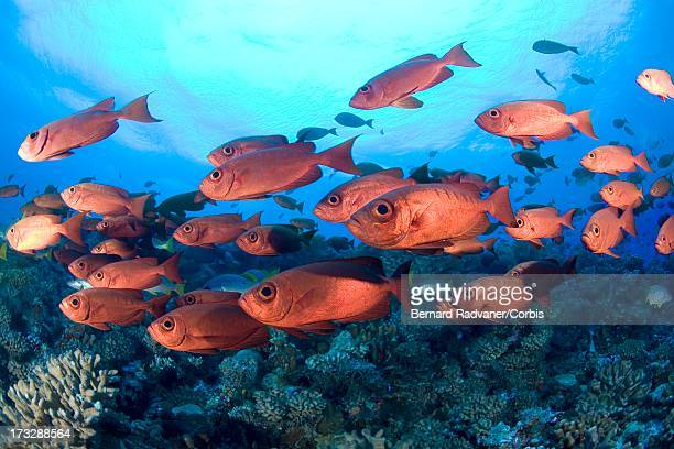 school of soldier fish - redfish stock photos and pictures