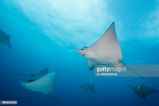 school of spotted eagle rays swimming in blue water just outside cancun, mexico. - dasiatide foto e immagini stock