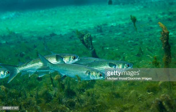 Mullet fish stock photos and pictures getty images for Mullet fish florida
