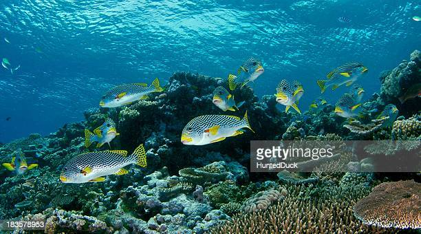 school of sweet lips fish in great barrier reef, australia - great barrier reef stock pictures, royalty-free photos & images