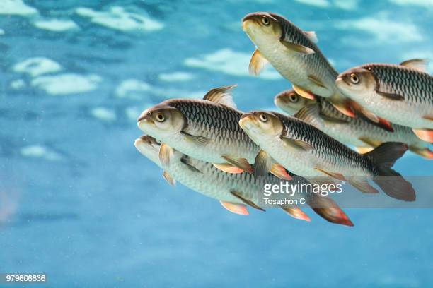 school of tigerfishes swimming side by side, singapore - small group of animals stock pictures, royalty-free photos & images