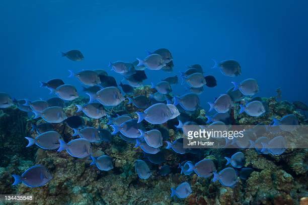 School of tropical fish (Blue Tangs) on coral reef