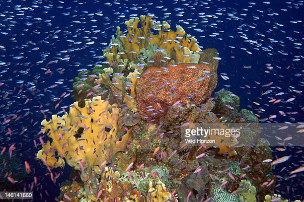 School of unidentified silversided fish over coral reef Curacao Netherlands Antilles Enter Photo Format
