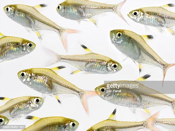 school of x-ray tetra fish (pristella maxillaris) - fish x ray stock photos and pictures
