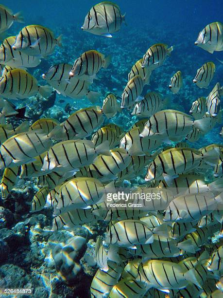 school of yellow convict surgeonfish - la digue island stock pictures, royalty-free photos & images