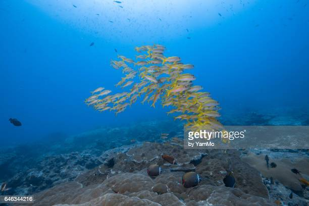 School of yellowtail snapper